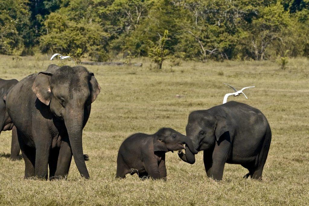 baby elephants playing together on a safari in sri lanka