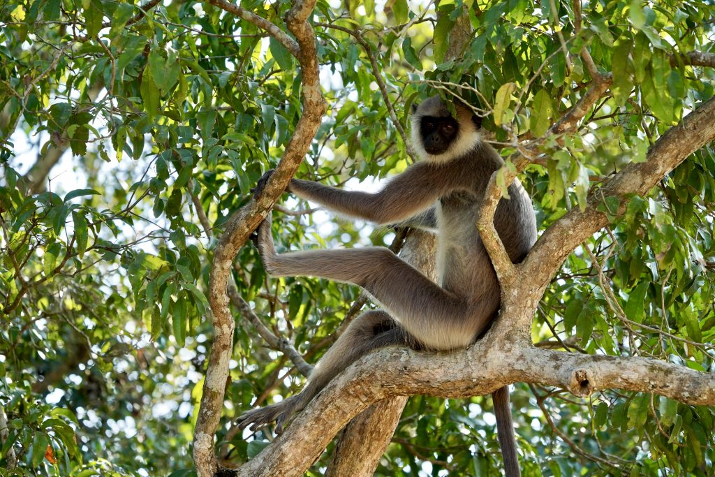 monkey in the tree on a yala safari tour