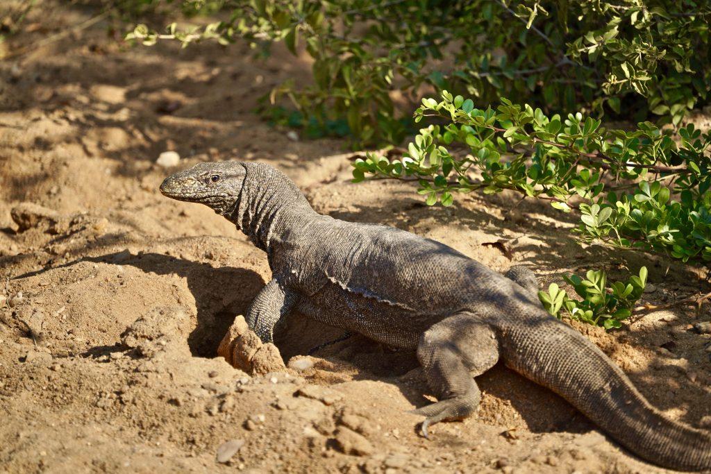 monitor lizard n a yala safari