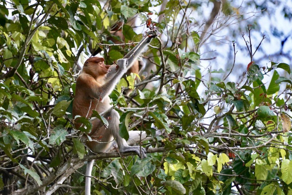 probiscus monkey kinabatagan river safari