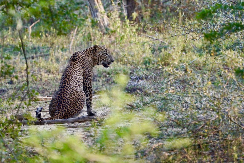 leopard in sri lanka yala national park