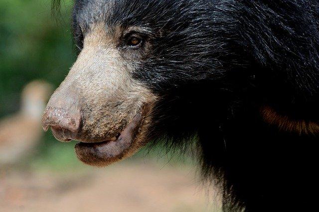 sloth bear found in yala national park