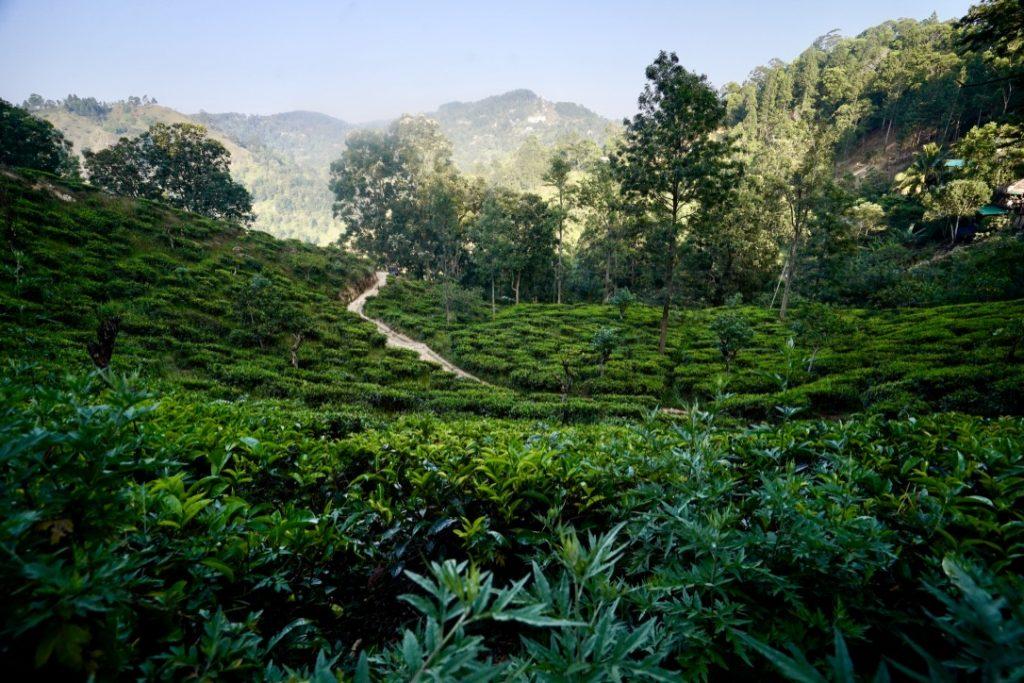 tea plantations near ella town in sri lanka