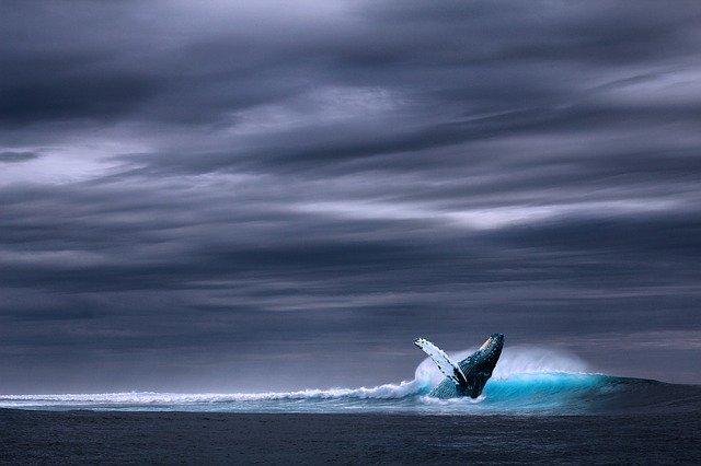 whale watching in mirissa blue whale breaching