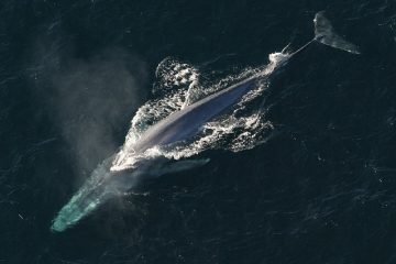 whale watching in sri lanka - blue whale from above