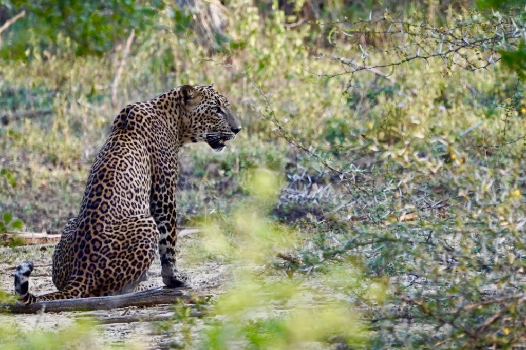 spotting leopards on safari in yala is one of the best things to do in sri lanka