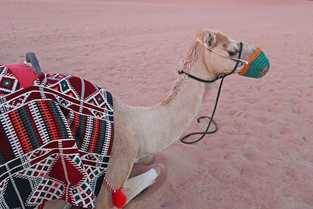 desert safari camel dubai