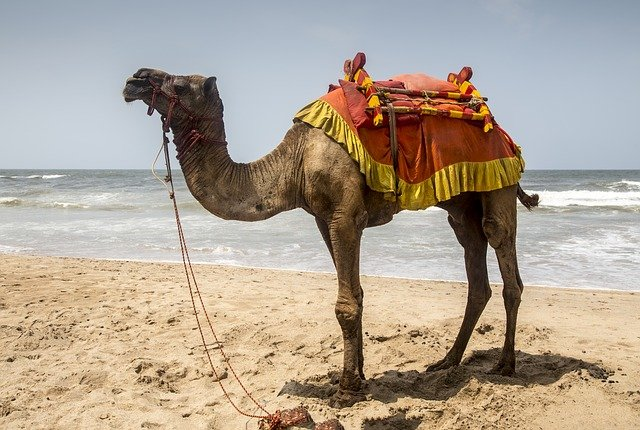 camel on a beach