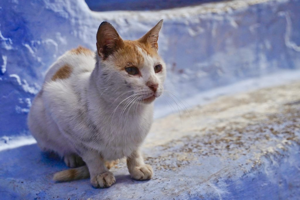 cat sitting on blue steps in the blue town chefchaouen