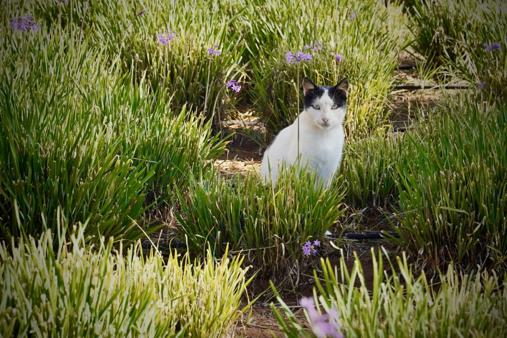 cat sitting amongst purple flowers in essaouira