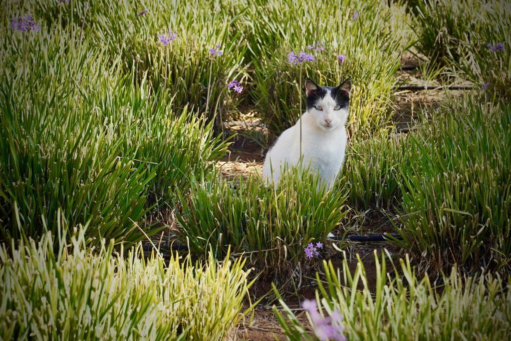 cat sitting amongst purple flowers in essaouira